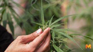 สนช. ไฟเขียว พ.ร.บ.ยาเสพติด ใช้กัญชา-กระท่อม ทางการแพทย์