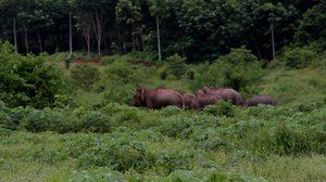 ชาวบ้านผวา!! โขลงช้างป่ากว่า 70 ตัว บุกไร่มันสำปะหลัง
