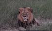 ซิมบับเวประกาศห้ามล่าสัตว์ หลังสิงโตดังถูกฆ่า